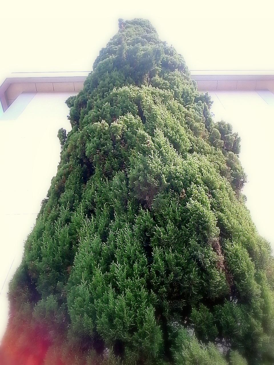 イトスギの画像 p1_38