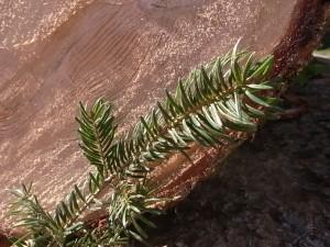 樅の木は残った?
