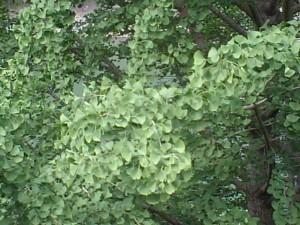 20090506 イチョウ