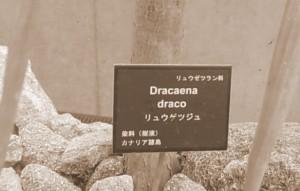 20101010 竜血樹・ドラゴンツリー、ふたたび!④