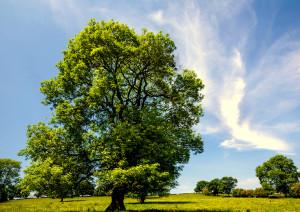 Ash Tree {Fraxinus excelsior}